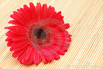 Red Gerbera on Bamboo