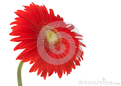 Red gerbera head