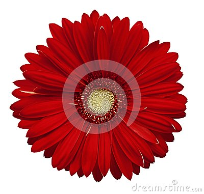Free Red Gerbera Flower, White Isolated Background With Clipping Path.   Closeup.  No Shadows.  For Design. Stock Image - 110687121