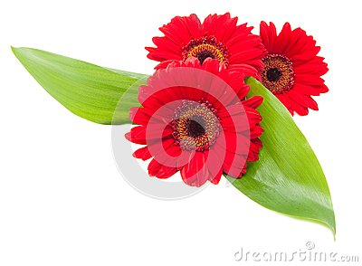 Red gerbera flowers with green leaves