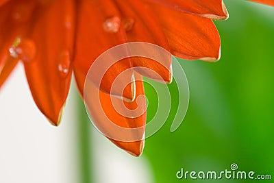 Red Gerbera Petals Macro