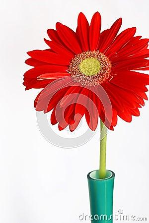 Red gerbera in vase