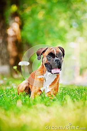 Red german boxer dog