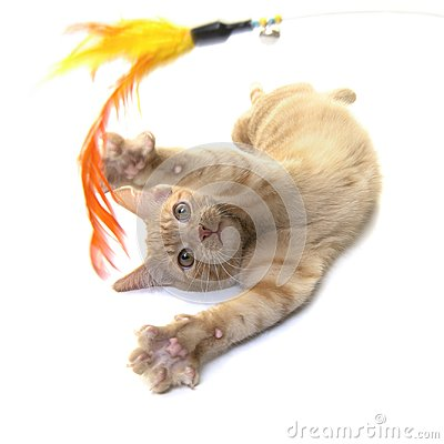 Free Red Ginger Cat Playing With A Feather Toy Stock Images - 106679544