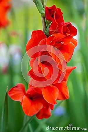 Free Red Gladiolus Flowers Stock Image - 29213031