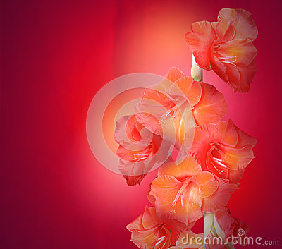 Red Gladiolus Flowers on Texture Background