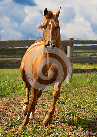 Red gold arabian horse