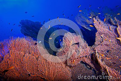 Red Gorgonia with blue sea