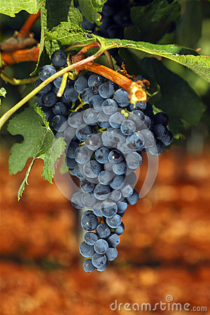 Free Red Grape Royalty Free Stock Photography - 77958127