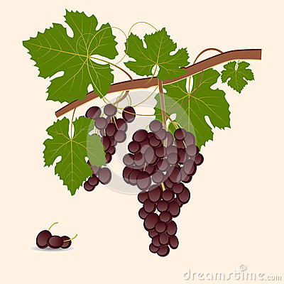 Red grape branch