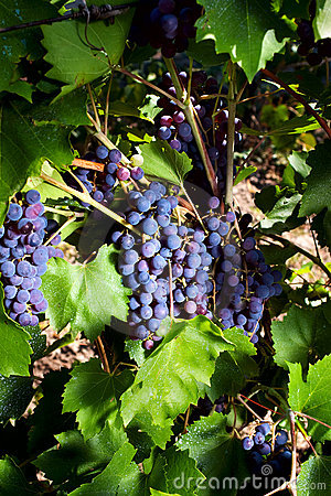 Red grapes growing