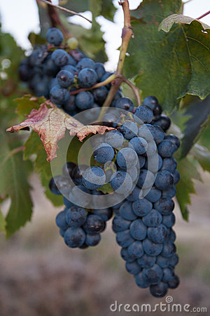 Free Red Grapes On Vine Royalty Free Stock Image - 50677646