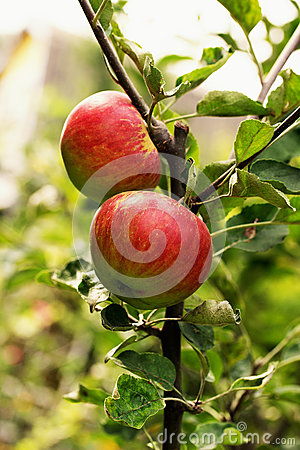 Red And Green Apples On The Tree Stock Photo - Image: 43719137