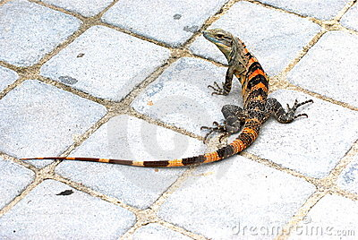 A red green and black iguana lizard on the ground.