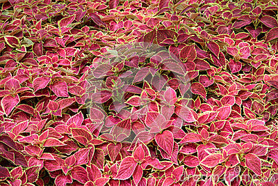 Red Green Coleus Blumei Plant
