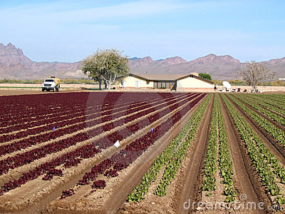 Red and green lettuce crop