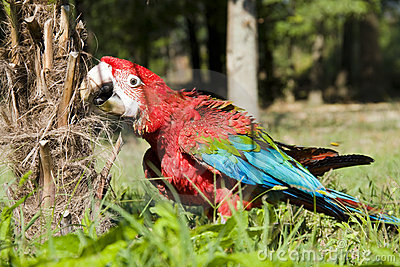 Red-and-green macaw (Ara chloroptera)