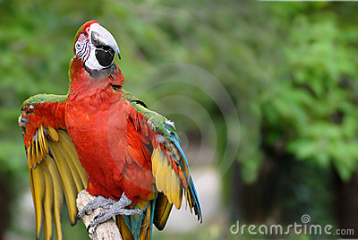 Red-and-green Macaw on perch