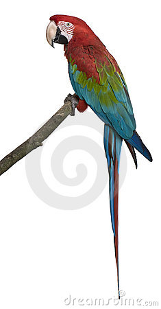 Red-and-green Macaw perching on branch