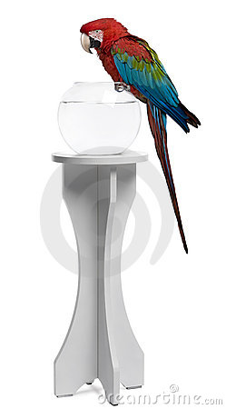 Red-and-green Macaw perching on empty fish bowl