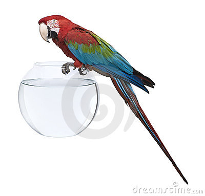 Red-and-green Macaw, standing on fish bowl