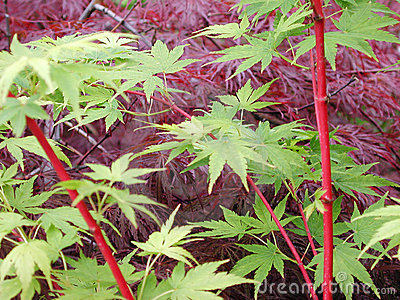 Red and green maples