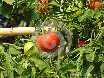 Red and green tomato patch