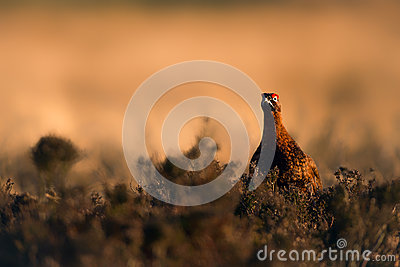 Red Grouse at Sunset