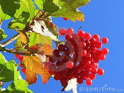 Red Guelder rose