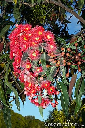 Red Gum Tree Flowers