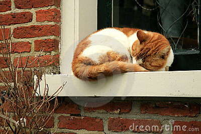 Red hair cat