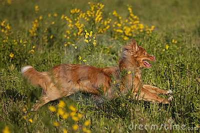 Red haired dog running in broom field