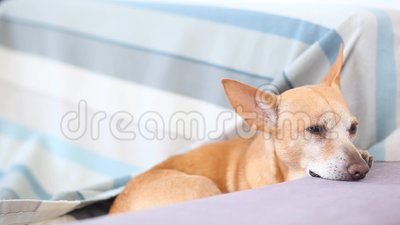 Red-haired little dog falls asleep on the couch. Cute Dog is waiting for the owner of the house and is bored. A tired dog is resti. Ng at home on the sofa close stock footage