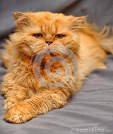 Red-haired Persian cat