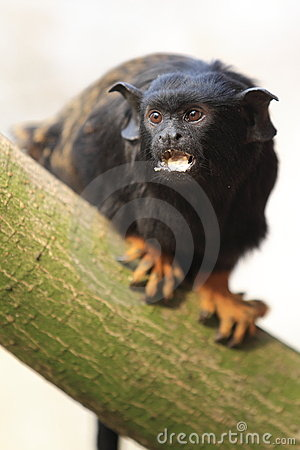 Free Red-handed Tamarin Royalty Free Stock Image - 24025846