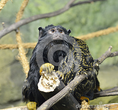 Free Red-handed Tamarin Royalty Free Stock Photography - 82756627
