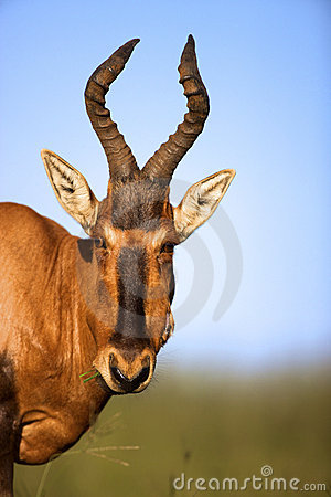 Free Red Hartbeest Stock Images - 24183674