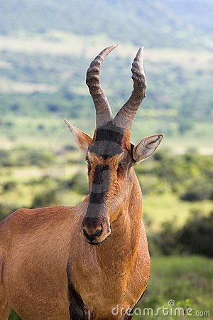 Free Red Hartebeest Royalty Free Stock Photography - 1405667
