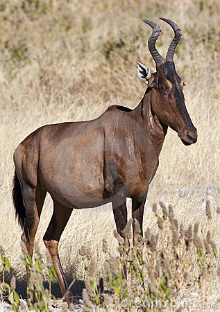 Free Red Hartebeest - Namibia Royalty Free Stock Photos - 13938208