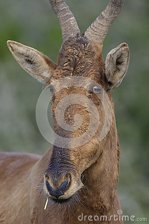 Free Red Hartebeest Portret, Addo Elephant National Park Royalty Free Stock Photo - 93069225