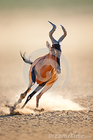 Free Red Hartebeest Running Stock Photography - 32633862