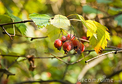 Red hawthorn