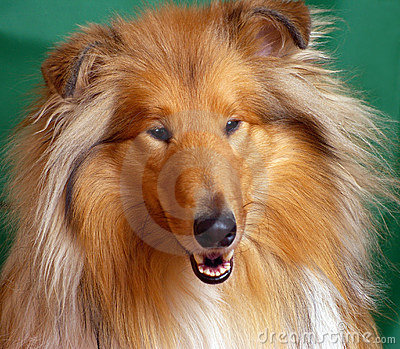 Red-head collie