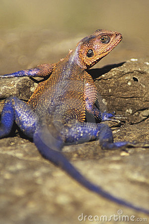 Free Red-headed Agama Royalty Free Stock Photos - 1119818