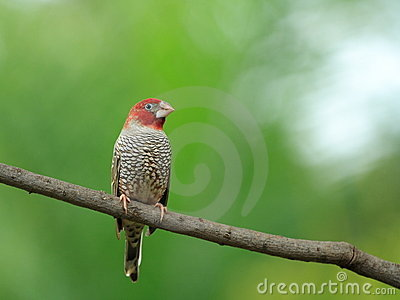 Red headed male finch