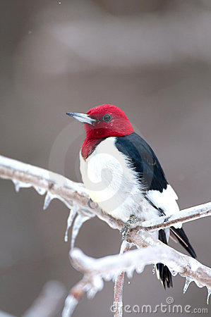 Free Red-headed Woodpecker On Icy Branch Royalty Free Stock Photos - 18467408