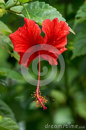 Free Red Hibiscus Royalty Free Stock Image - 103886766