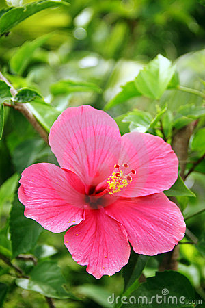 Free Red Hibiscus Stock Images - 17468744