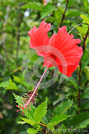 Free Red Hibiscus Royalty Free Stock Images - 41525999