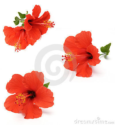 Free Red Hibiscus Stock Image - 5520741
